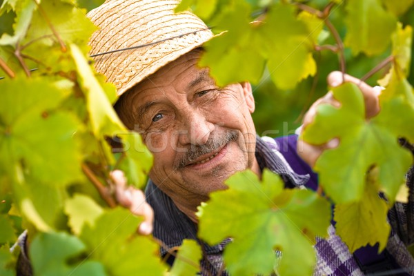 Happy senior vintner Stock photo © nyul