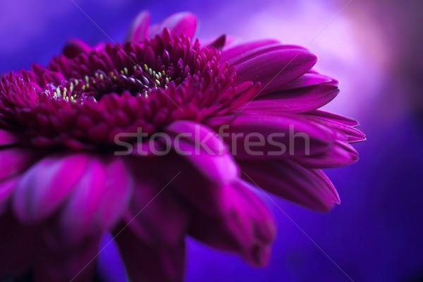 Virág színes stúdiófelvétel egy virág tavasz ajándék Stock fotó © nyul