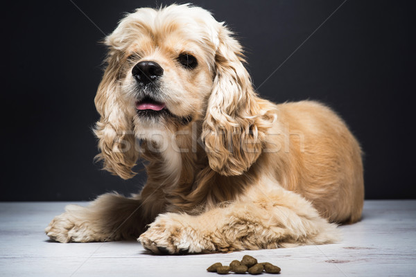Young purebred Cocker Spaniel on wooden floor Stock photo © O_Lypa