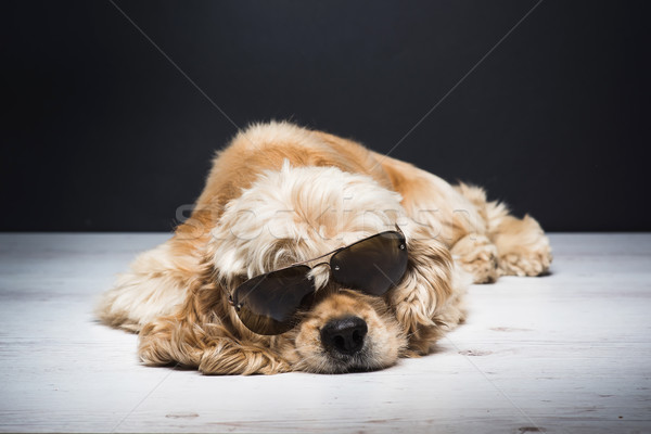 Amerikaanse zonnebril hond witte jonge Stockfoto © O_Lypa