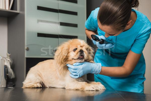 Veteriner göz köpek kulak veteriner Stok fotoğraf © O_Lypa