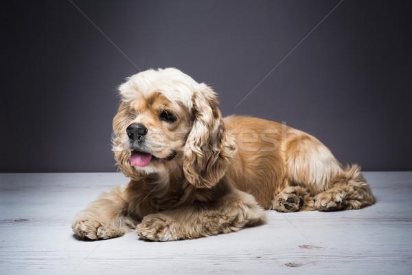 Fiatal fajtiszta fapadló kutya fehér amerikai Stock fotó © O_Lypa