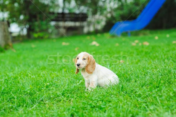 Stock fotó: Kutyakölyök · amerikai · ül · zöld · gyep · boldog