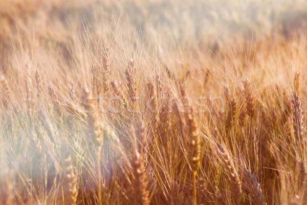 закат ушки пшеницы Сток-фото © O_Lypa