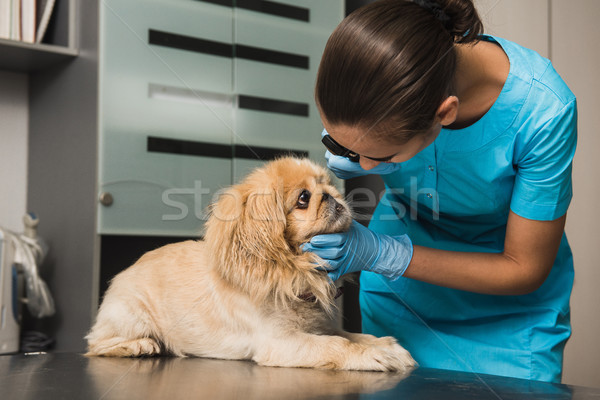 Veterinarian examines the eye of a dog Stock photo © O_Lypa