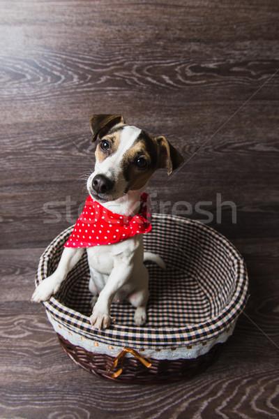 Foto stock: Jack · russell · terrier · marrom · cesta · cão · vermelho