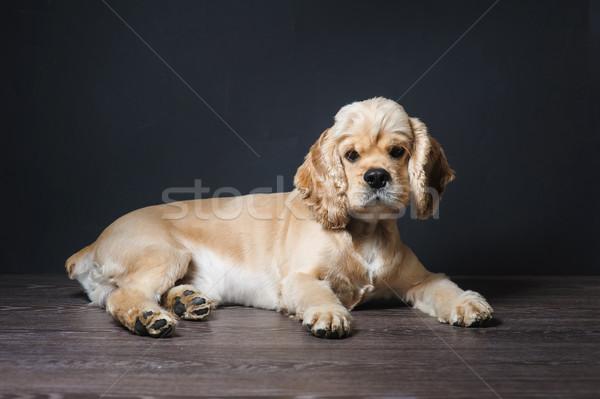 Dog Staring at Camera Stock photo © O_Lypa