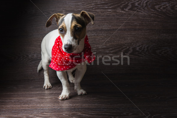 Jack Russell Terrier is posing Stock photo © O_Lypa