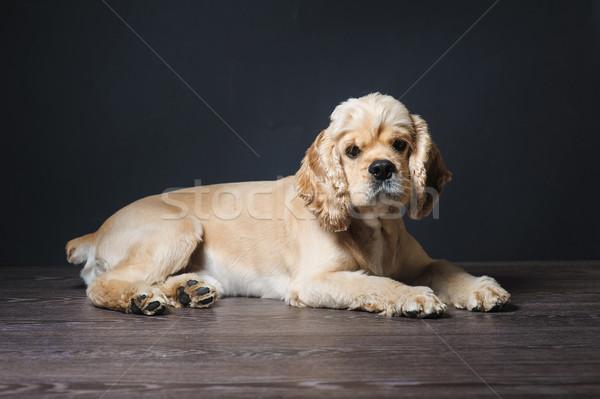 Genç amerikan karanlık köpek Stok fotoğraf © O_Lypa