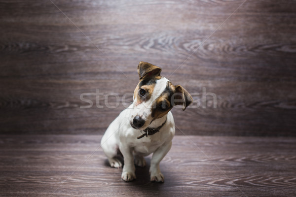 Pretty puppy is staring with curiosity Stock photo © O_Lypa