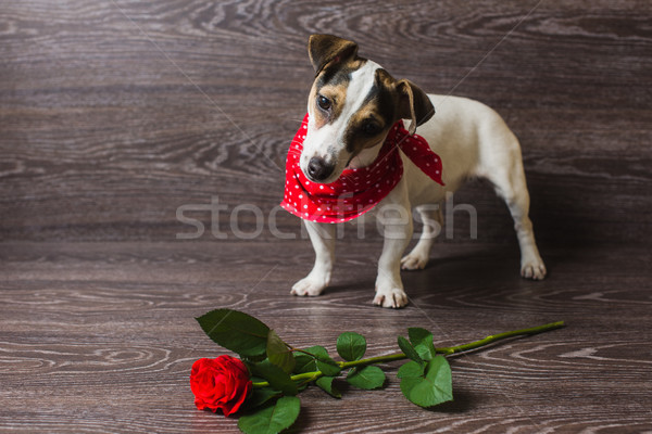Jack Russell Terrier with red rose. Stock photo © O_Lypa