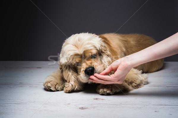 Női kéz etetés kutya amerikai fehér Stock fotó © O_Lypa
