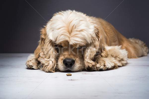 Cão cheiro comida branco jovem Foto stock © O_Lypa