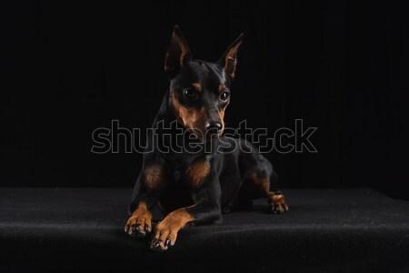 Zwarte portret hond weg Stockfoto © O_Lypa