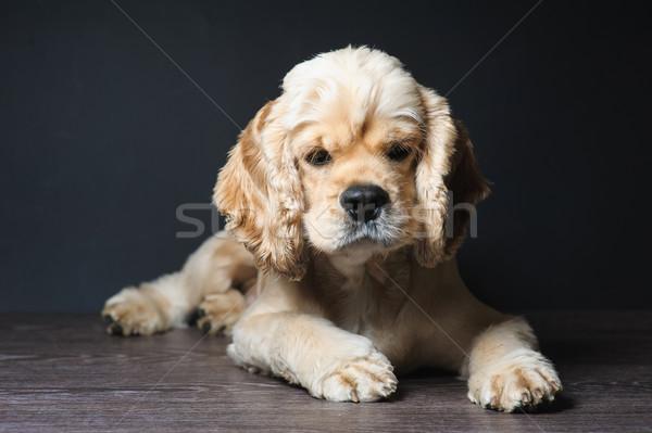 Stock fotó: Sötét · amerikai · fajtiszta · kutya · bámul · kamera