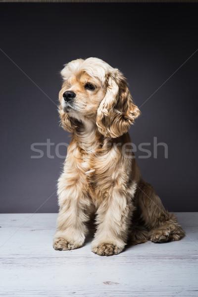 Fiatal fajtiszta fapadló kutya ül fehér Stock fotó © O_Lypa
