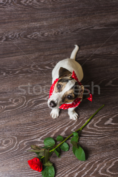 Jack russell terrier Rose Red chien rouge Photo stock © O_Lypa