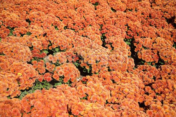 Turuncu krizantem soyut bahçe Stok fotoğraf © O_Lypa