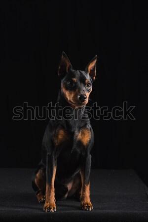 Fekete kutya külső szépség portré játék Stock fotó © O_Lypa