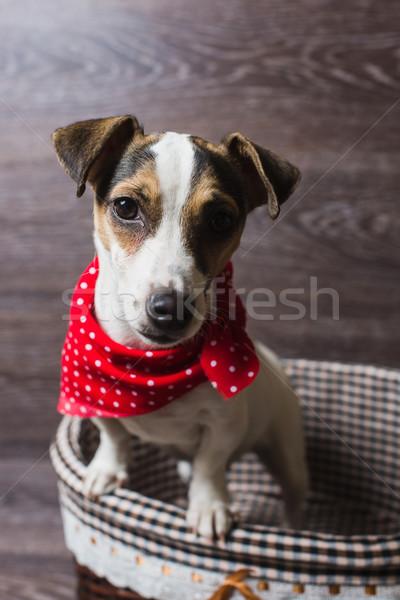 Джек-Рассел терьер коричневый корзины собака модный красный Сток-фото © O_Lypa