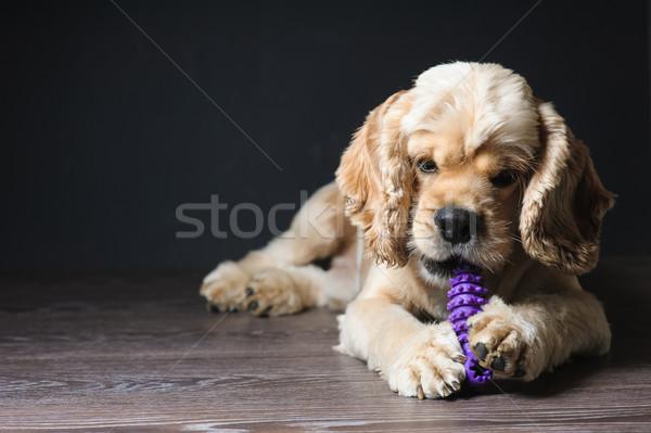 Köpek oynama oyuncak amerikan karanlık genç Stok fotoğraf © O_Lypa