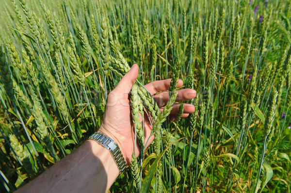 Hand touches ears of wheat Stock photo © O_Lypa