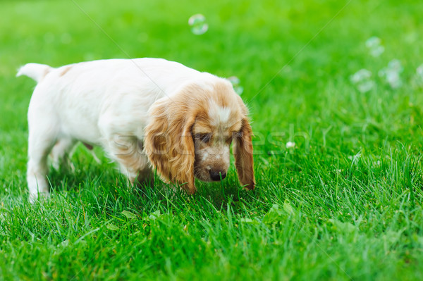Puppy playing with soap bubbles Stock photo © O_Lypa