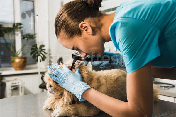 Kutya vizsgálat állatorvos mentő női állatorvos Stock fotó © O_Lypa
