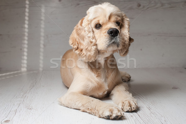 Luz americano jovem cão Foto stock © O_Lypa
