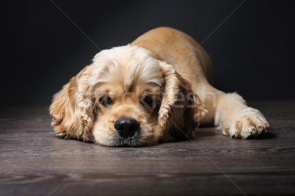 американский темно молодые собака черный Сток-фото © O_Lypa
