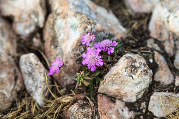Bloem stenen foto voorjaar bergen Stockfoto © Obencem