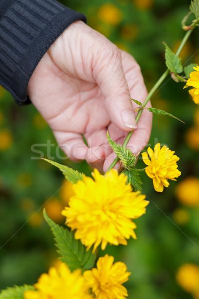 весны пожилого стороны цветок рук Сток-фото © ocskaymark