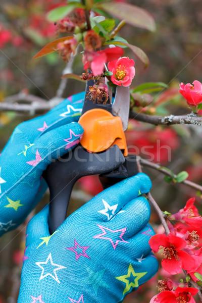 Pruning plants Stock photo © ocskaymark