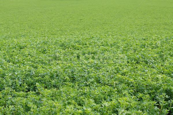 Alfalfa field Stock photo © ocskaymark