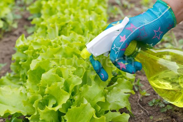 зеленый Салат завода продовольствие Сток-фото © ocskaymark
