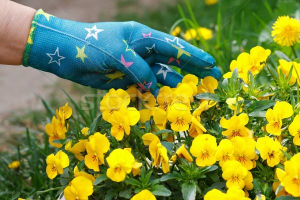 Flores amarelas feminino jardineiro mão tocante mulher Foto stock © ocskaymark