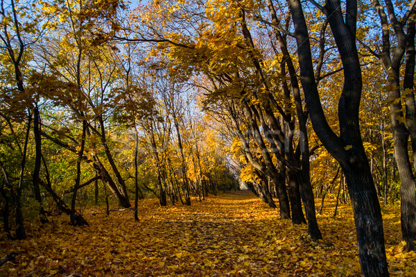 maple trees with yellow leaves in autumn park Stock photo © oei1