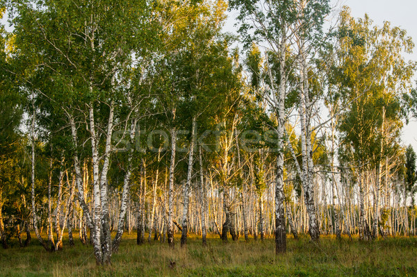 birch forest lit by the setting sun Stock photo © oei1