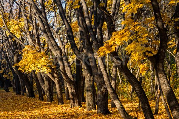 клен деревья желтый листьев осень парка Сток-фото © oei1