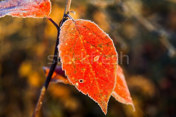 Сток-фото: красочный · растений · покрытый · мороз · фоны