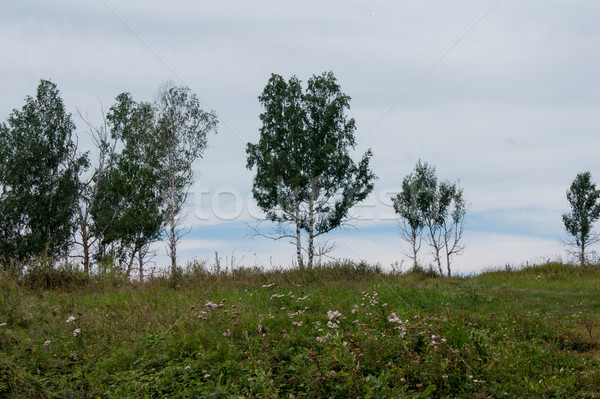 birch trees grow on top of the hill Stock photo © oei1