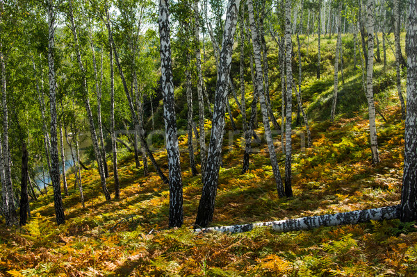 birch forest sunny autumn morning Stock photo © oei1
