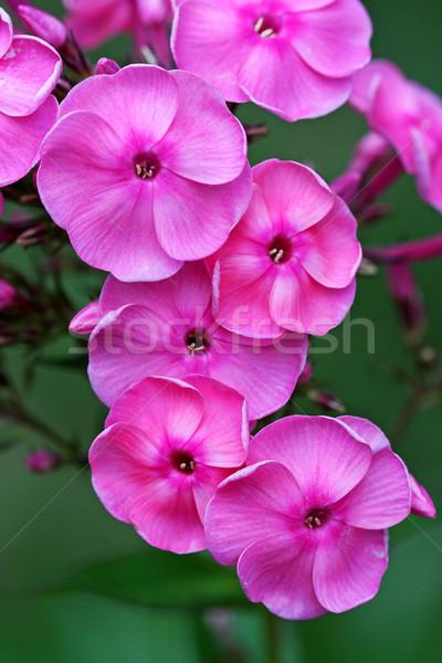 розовый лет саду цветы красоту Сток-фото © offscreen