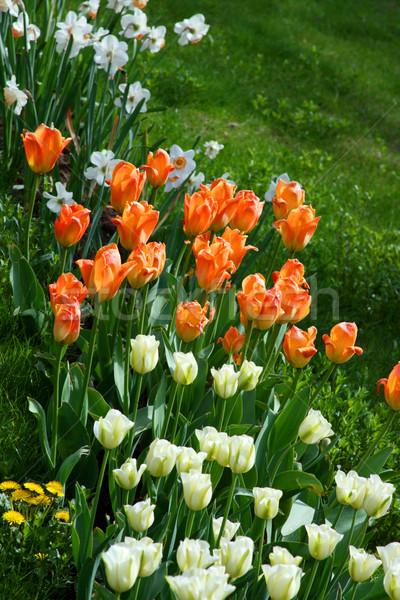 тюльпаны различный цветами природы лет Сток-фото © offscreen