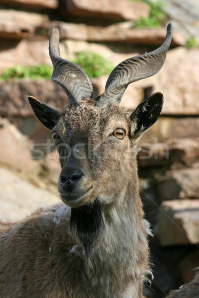 antelope Stock photo © offscreen