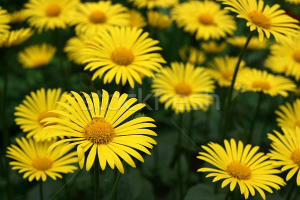цветы саду группа желтые цветы весны оранжевый Сток-фото © offscreen