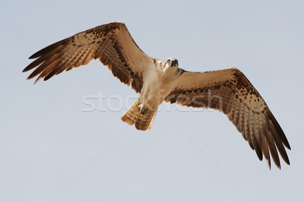 Uccello preda natura piuma aquila libertà Foto d'archivio © offscreen