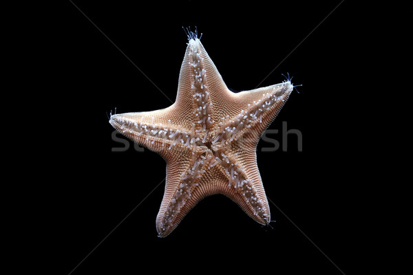 Starfish poissons nature mer noir shell Photo stock © offscreen