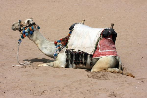 верблюда пустыне Африка Safari коричневый млекопитающее Сток-фото © offscreen