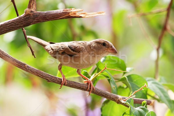 воробей саду птица животные филиала ждет Сток-фото © offscreen